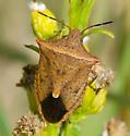 Brown Stinkbug - Euschistus ictericus