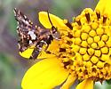 Thyris maculata