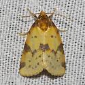 Obtuse Yellow - Hodges#9725 - Azenia obtusa
