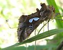 Bilobed Looper Moth - Megalographa biloba