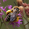 Compact pollen-laden bee on Vernonia
