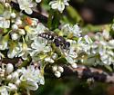wasp - Oxybelus
