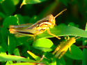 Striped grasshopper nymphs - Melanoplus femurrubrum - male