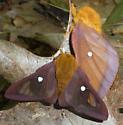 Anisota - Anisota virginiensis - male - female