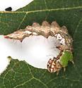 Notodontidae larva, lateral - Schizura ipomaeae