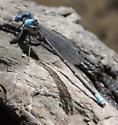 Blue-fronted Dancer? - Argia apicalis - male