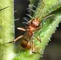 Spider Wasp - Ageniella? - Ageniella