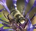 Megachile? - Megachile melanophaea