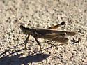 Grasshopper - Melanoplus pictus - male