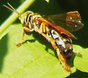 Wasp 08013a - Tachytes distinctus