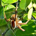 Nursery Web Spider - Pisaurina brevipes - female
