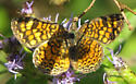 Vesta Crescent - Phyciodes graphica
