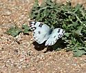 Beckers white-Pountia beckerii - Pontia protodice - female