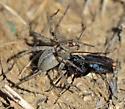 Spider Wasp In Action - Anoplius