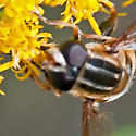 Syrphid Fly - Helophilus fasciatus - male