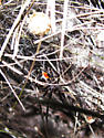 Brown widow? - Latrodectus geometricus - female