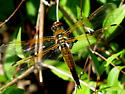 Libellula quadrimacuta - Libellula quadrimaculata