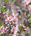 Gray Bee in No. Nevada