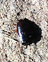 Wood Cockroach sp. - Parcoblatta