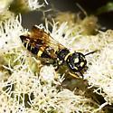wasp - Philanthus gibbosus