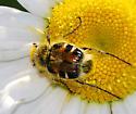 Shiny pollen-eating scarab - Trichiotinus piger