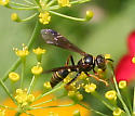 Which wasp is this, please? - Saygorytes phaleratus