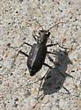Tiger beetle - Cicindelidia punctulata
