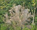 Infested Tree - Hyphantria cunea
