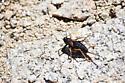 Alpine Shieldback Katydid (Mt. Whitney sighting) - Acrodectes philopagus - female