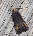 Moth basking at the bug light - Dichomeris offula