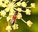 Necydalis species? - Molorchus longicollis