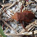 Coreidae - Euthochtha galeator
