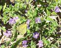butterfly - Pyrisitia lisa
