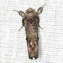 Unicorn Caterpillar Moth - Hodges #8007 - Schizura unicornis
