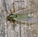Green Midge at Lights, Early April Visitor - Tanytarsus
