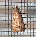 Tortricoidea 01 - Eudonia rectilinea