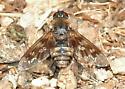Iszak's Bee Fly #4 for ID - Thyridanthrax nugator