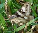 gray and white striped moth - Melipotis indomita