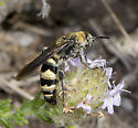 Wasp ID request - Dielis plumipes - female