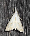 Moth with pinpoint dots - Haimbachia placidellus