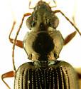 Bembidion (Pseudoperyphus) chalceum Dejean, 1831  - Bembidion chalceum