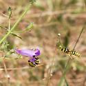 Patrolling Male Pseudomasaris and Female I - Pseudomasaris vespoides - male - female