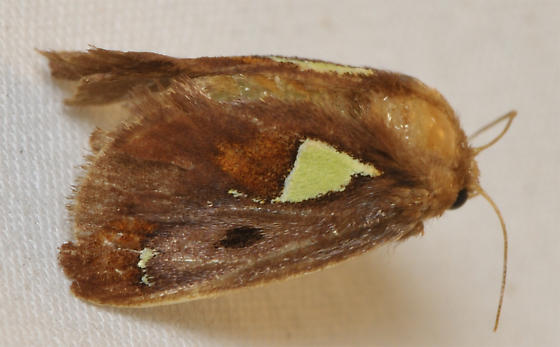 Yellow patch moth - Euclea delphinii