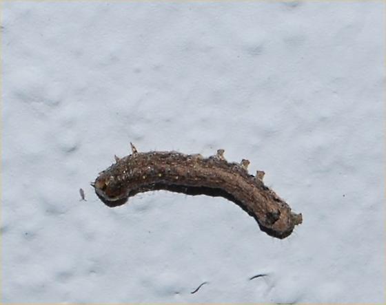 caterpillar - Peridroma saucia