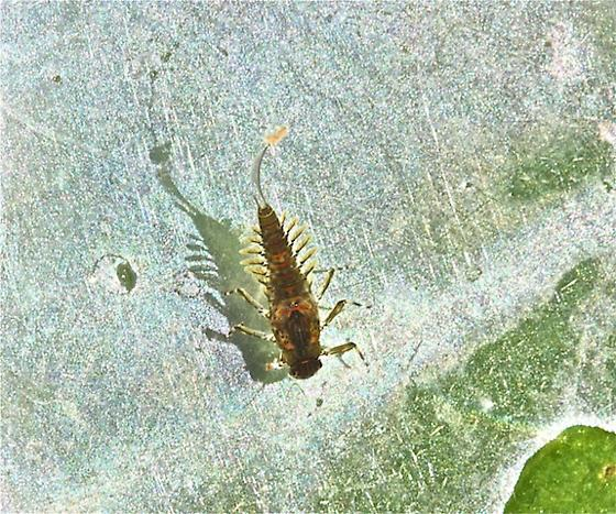 Baetidae, Acentrella nadineae - Acentrella nadineae