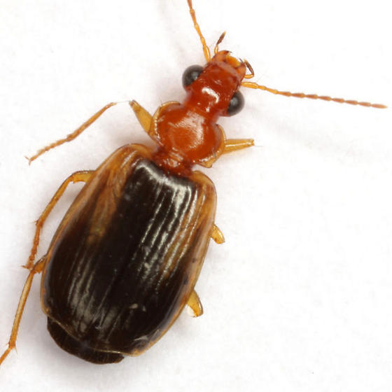 Lebia scapula Horn - Lebia scapula