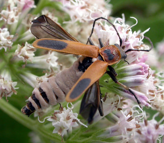 Goldenrod Soldier Beetle--killed by fungus - Chauliognathus    Goldenrod Soldier Beetle