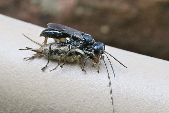 cricket hunter wasp - Lyroda subita - female