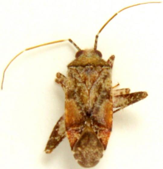 Phytocoris breviusculus - male