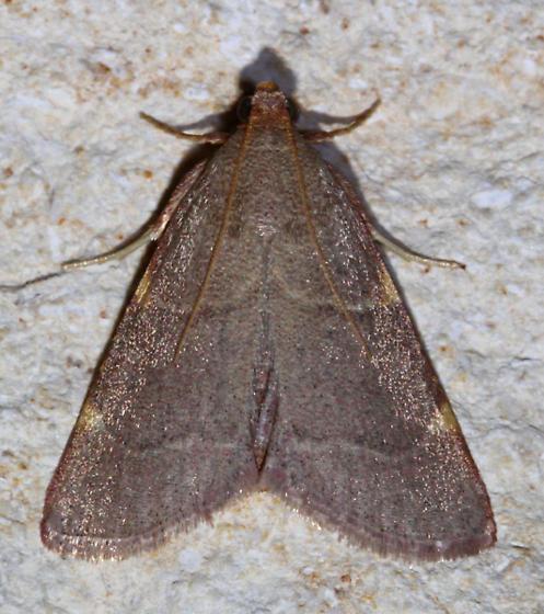 ID needed - Hypsopygia binodulalis
